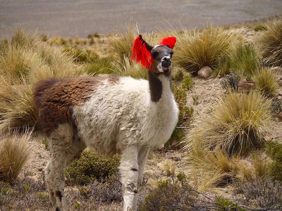 Lama Pampa von Arequipa nach Chivay - Peru