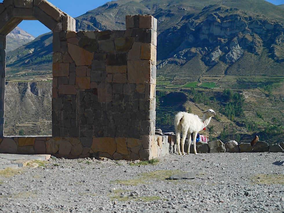 Colca Tal auf dem Weg zum Cruz del Condor - Lama Colca Canyon - Chivay- Peru