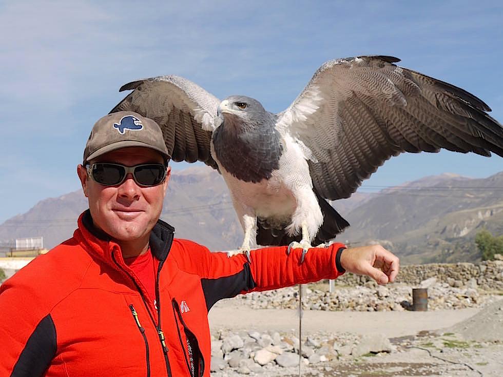 Falke Maca auf dem Weg zum Cruz del Condor - Colca Canyon - Chivay- Peru