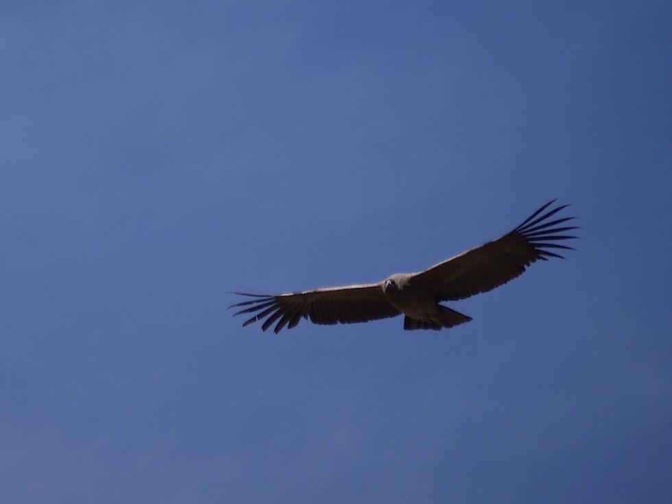 Segelnde Anden-Kondore - Aussichtsplattform- Kreuz des Kondors im Colca Canyon - Chivay- Peru