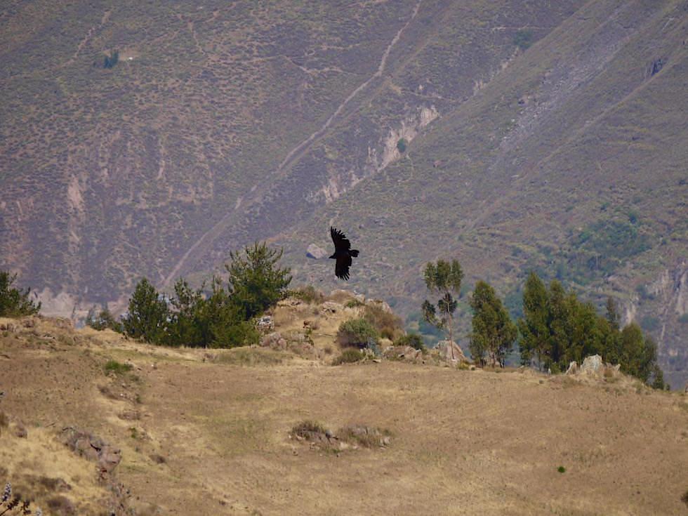 Kondore - Aussichtsplattform- Kreuz des Kondors - Colca Canyon - Chivay- Peru