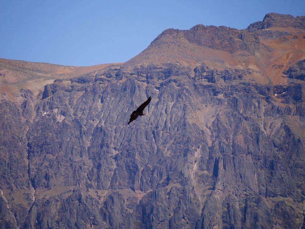 Kondor Cruz del Condor - Lama Colca Canyon - Chivay- Peru