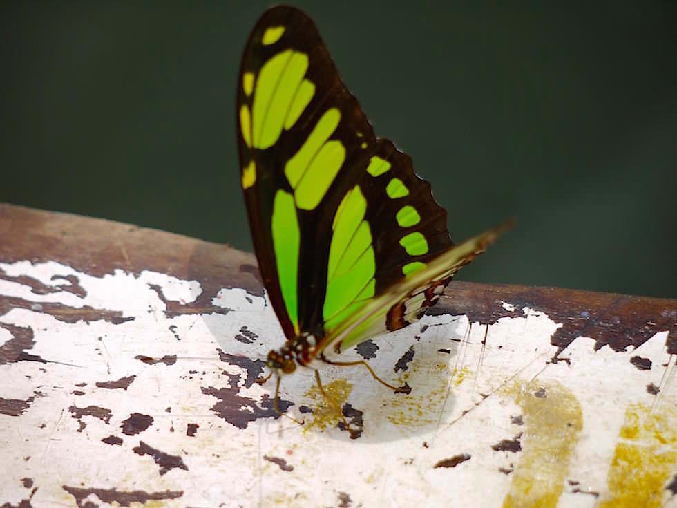 Prachtfalter - Abenteuer Amazonas Dschungel Tour - Peru