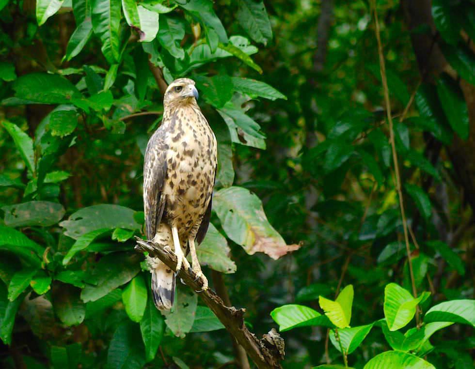 Adler - Abenteuer Amazonas Dschungel Tour - Peru