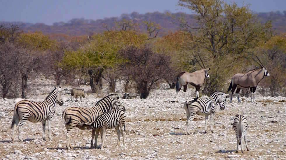 Geselliges Beisammensein Etosha Nationalpark Namibia