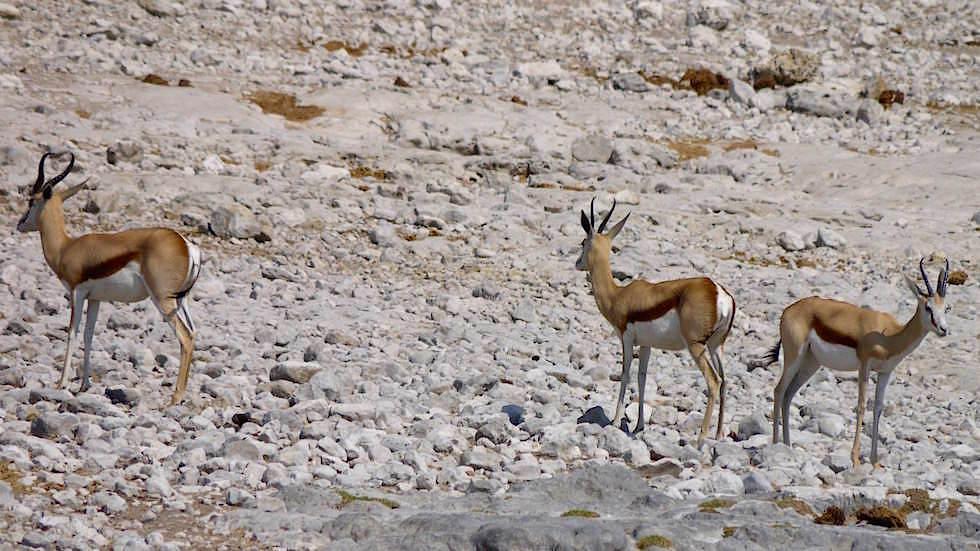 Springbock Etosha Nationalpark Namibia