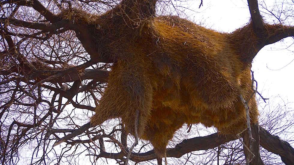 Siedelwebernester Etosha Nationalpark Namibia