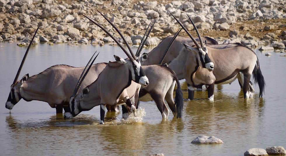 Oryx Etosha Nationalpark Namibia