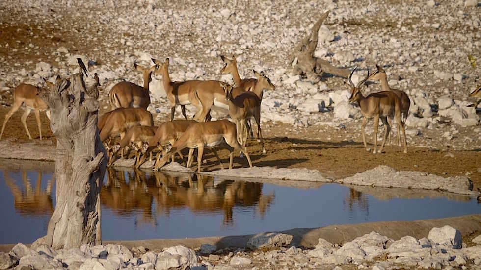 Impala Etosha Nationalpark Namibia