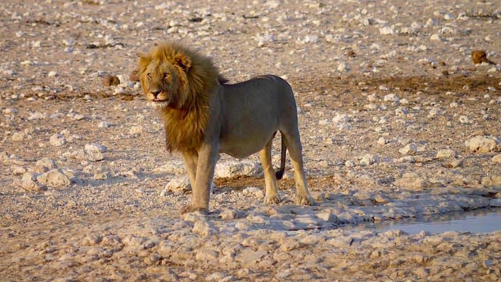 Alter Löwe Etosha Nationalpark Namibia