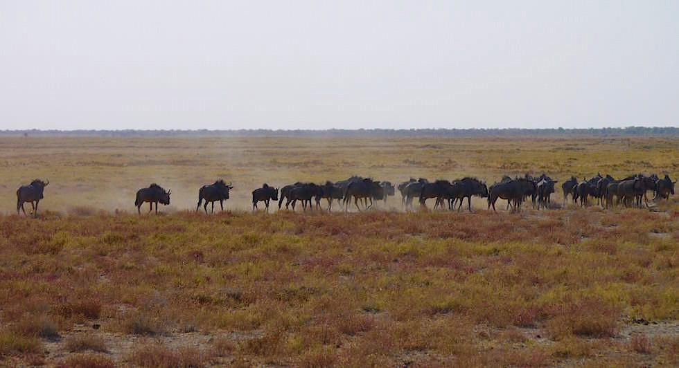 Streifengnu Herde Etosha Nationalpark Namibia