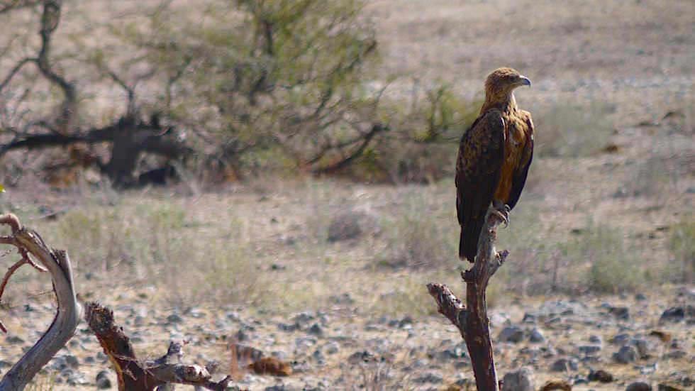 Raubadler Etosha Nationalpark Namibia