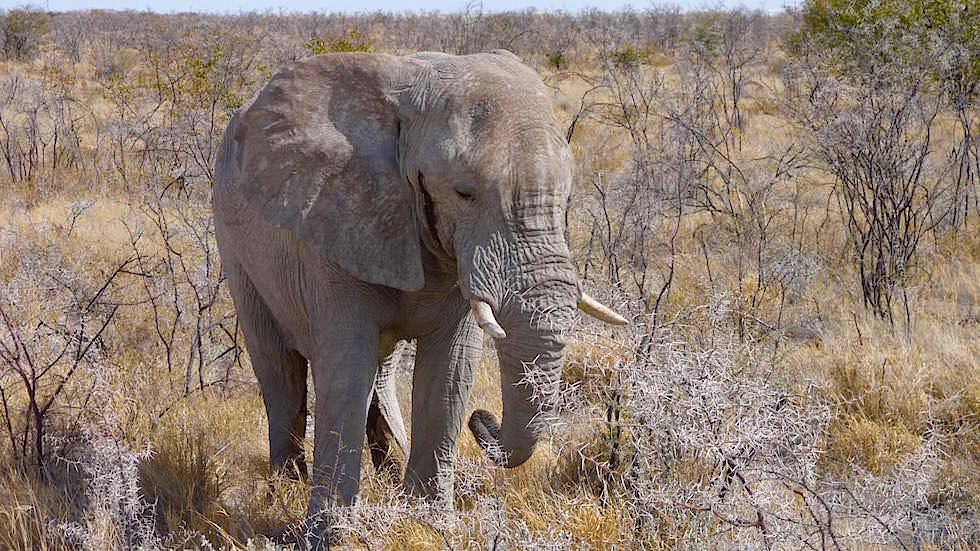 Afrikanischer Elefant Etosha Nationalpark Namibia