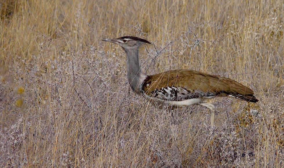 Riesentrappe Etosha Nationalpark Namibia
