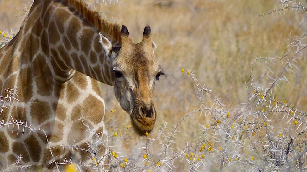 Giraffe frisst Klebdorn Akazie Etosha Nationalpark Namibia