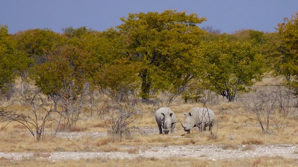 Breitmaulnashorn Etosha Nationalpark Namibia