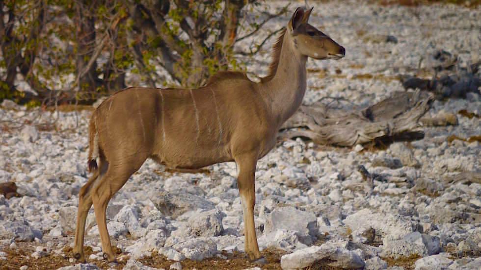 Kudu Etosha Nationalpark Namibia