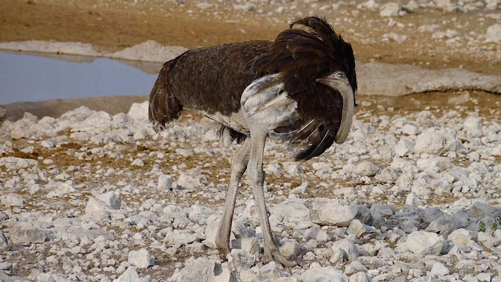Afrikanischer Strauß Etosha Nationalpark Namibia