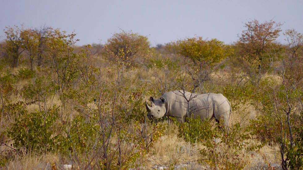 Spitzmaulnashorn Etosha Nationalpark Namibia