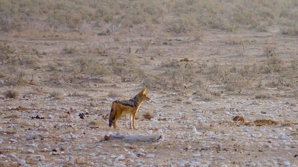 Kapfuchs Etosha Nationalpark Namibia
