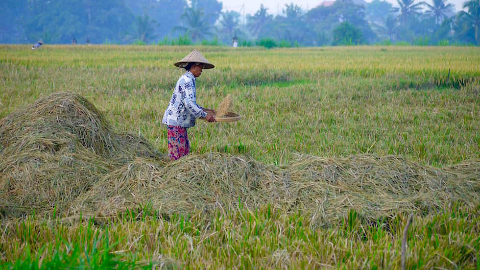 Reisernte - Von Ubud nach Lovina - Bali, Indonesien