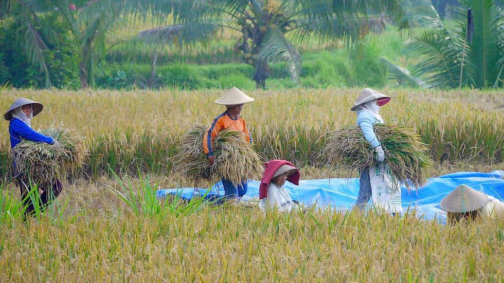 Reisfelder Arbeit - Von Ubud nach Lovina - Bali, Indonesien