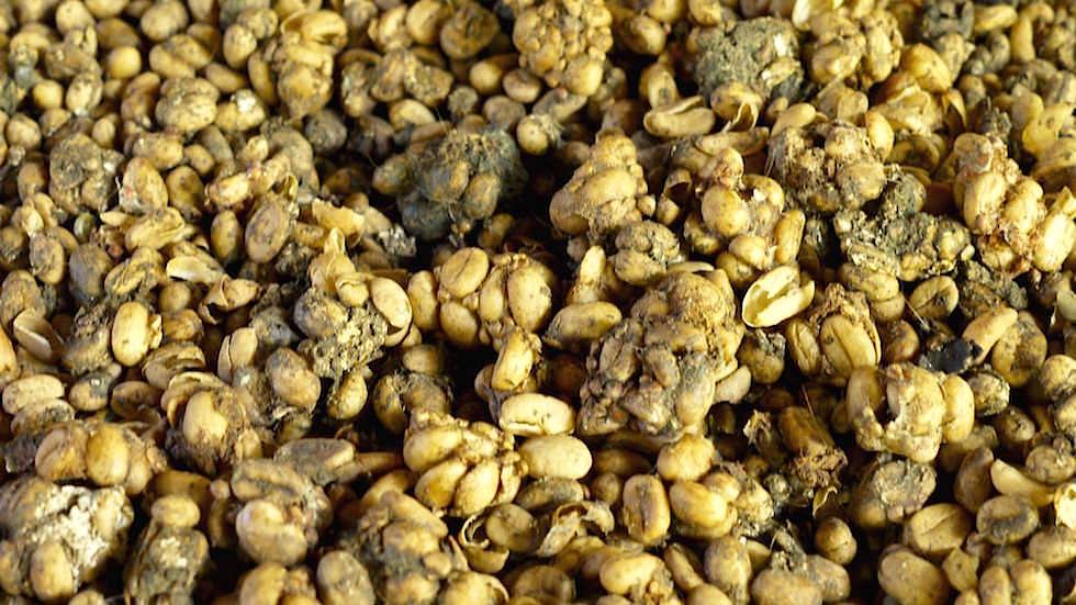 Luwak Kaffee - Von Ubud nach Lovina - Bali, Indonesien