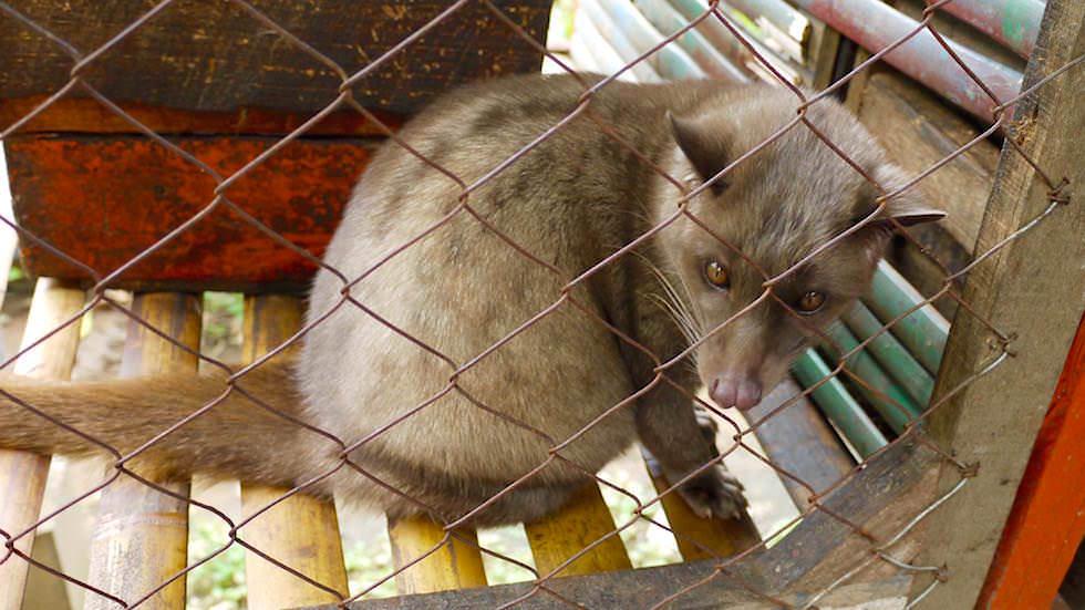Luwak Katzen - Von Ubud nach Lovina - Bali, Indonesien