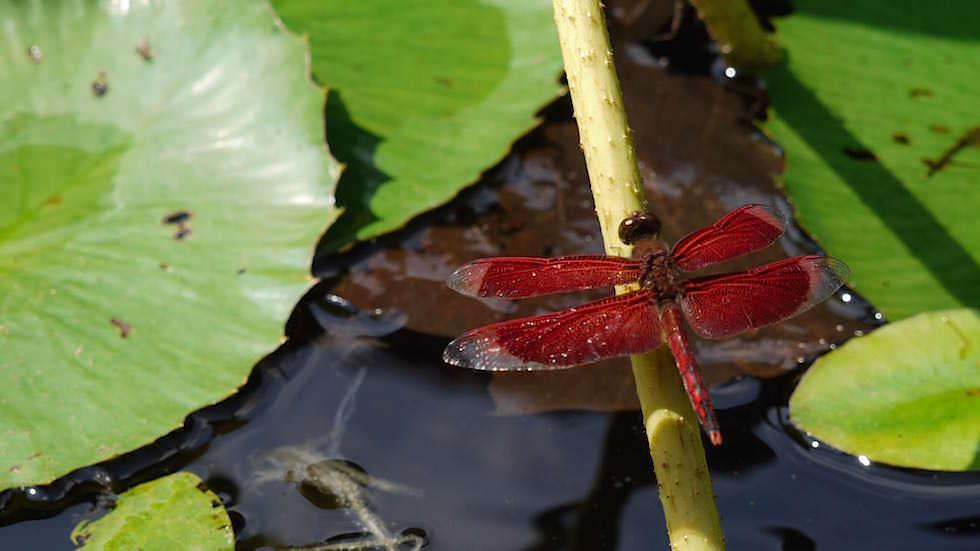 Libelle rot - Brahmavihara - im Norden von Bali bei Lovina Beach in Indonesien