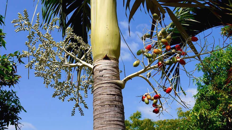 Palmfrüchte - Brahmavihara - im Norden von Bali bei Lovina Beach in Indonesien