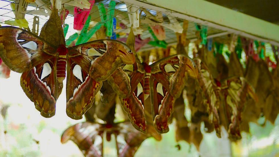 Atlasspinner frisch geschlüpft - Bali Butterfly Park - Indonesien