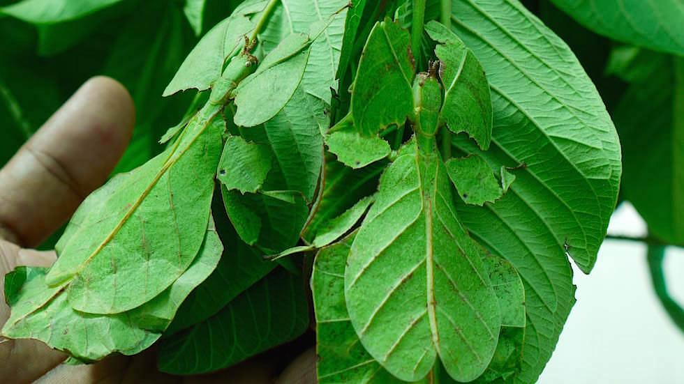 Wandelnde Blätter - Geisterschrecken - Bali Butterfly Park - Indonesien