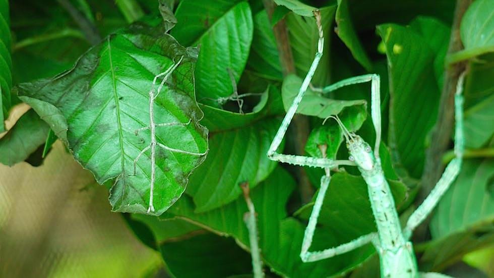 Wandelnde Äste - günen Riesen-Stabschrecken mit Kind - Bali Butterfly Park - Indonesien