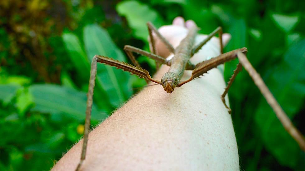 Wandelnde Äste - braune Riesen-Stabschrecken - Bali Butterfly Park - Indonesien
