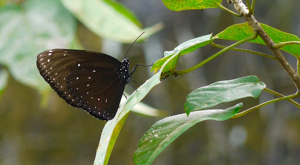 Euploea corinna - common crow -  Bali Butterfly Park - Indonesien