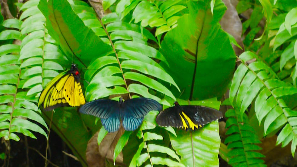 Ornithoptera priamus Bali Butterfly Park - Indonesien