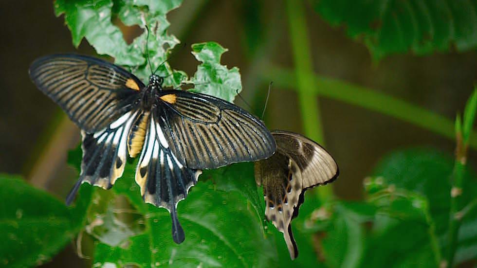 Great Mormon Bali Butterfly Park - Indonesien