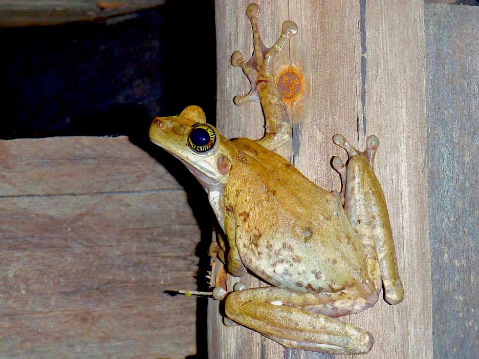 Frosch - Abenteuer Amazonas Dschungel Tour - Peru