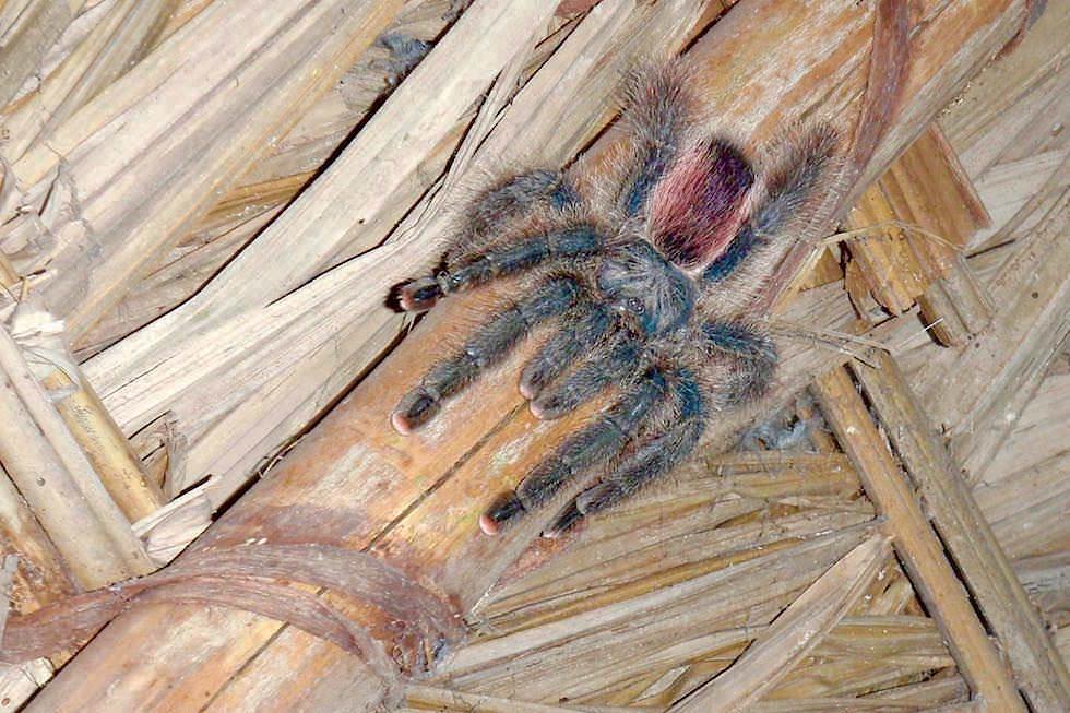 Tarantel Spinne - Abenteuer Amazonas Dschungel Tour - Peru