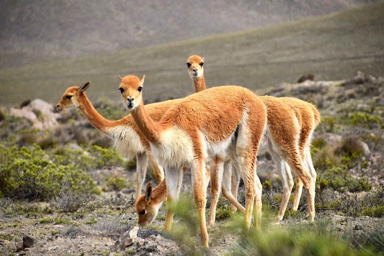 Scheue Vikunjas oder Vicuna - Hochland von Arequipa nach Chivay - Peru
