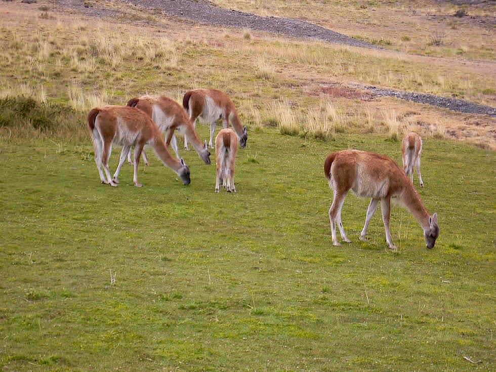 Guanaco Familie - Torres del Paine Nationalpark - Patagonien, Süd-Chile
