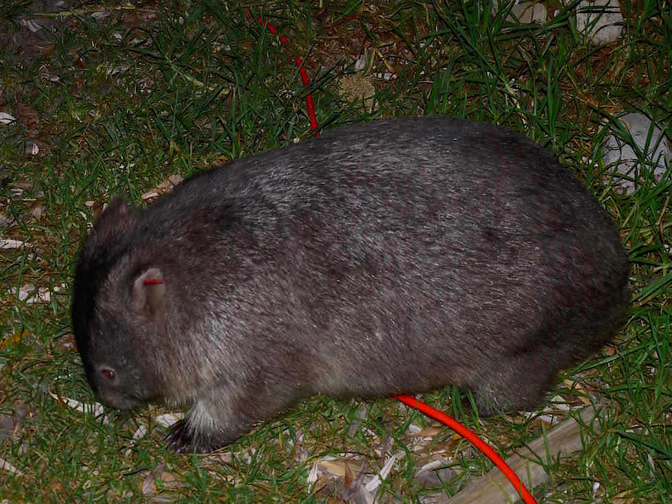Wombat - Wilsons Promontory National Park - Victoria