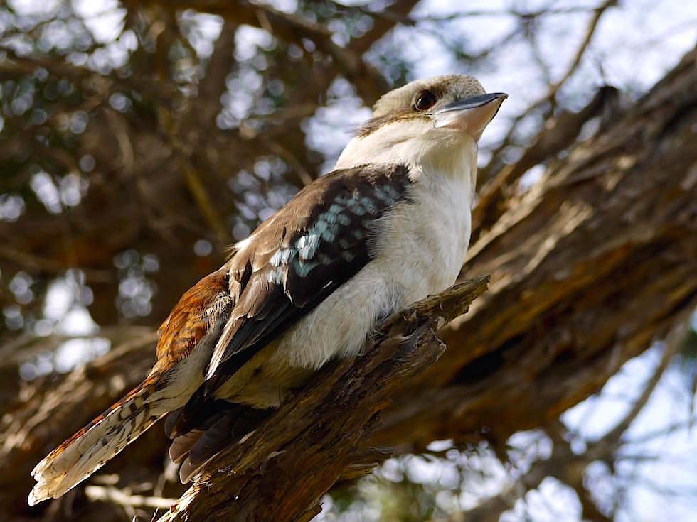 Kookaburra - Wilsons Promontory National Park - Victoria - Australien