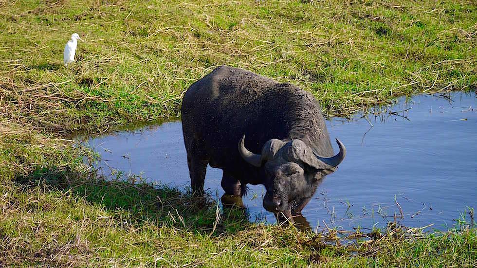 Kaffernbüffel - Chobe River Cruise - Chobe National Park in Botswana