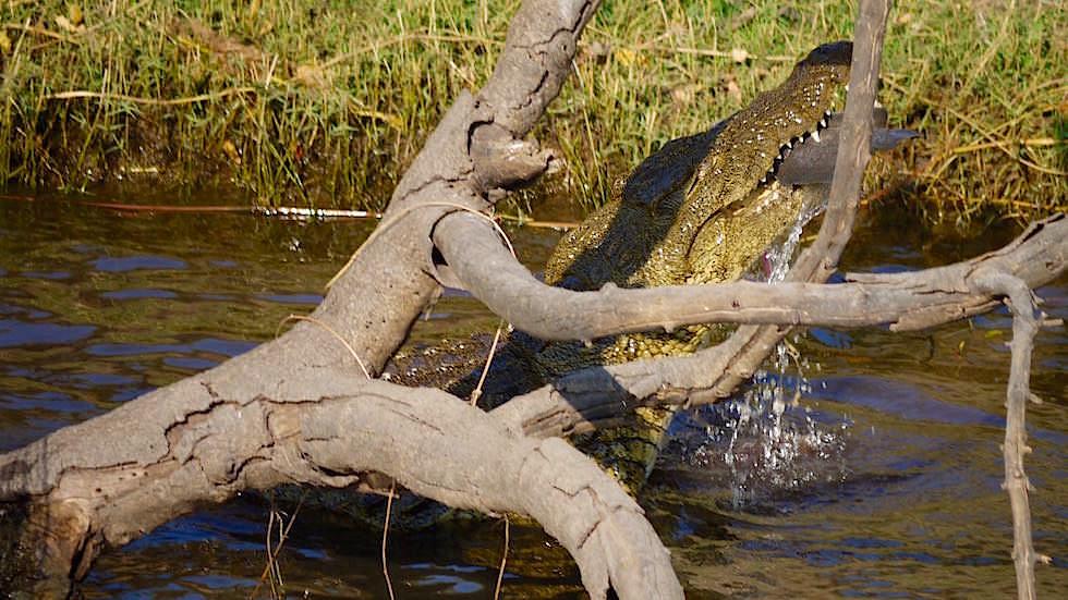 Nilkrokodil fängt Fisch - Chobe River Cruise - Chobe National Park in Botswana