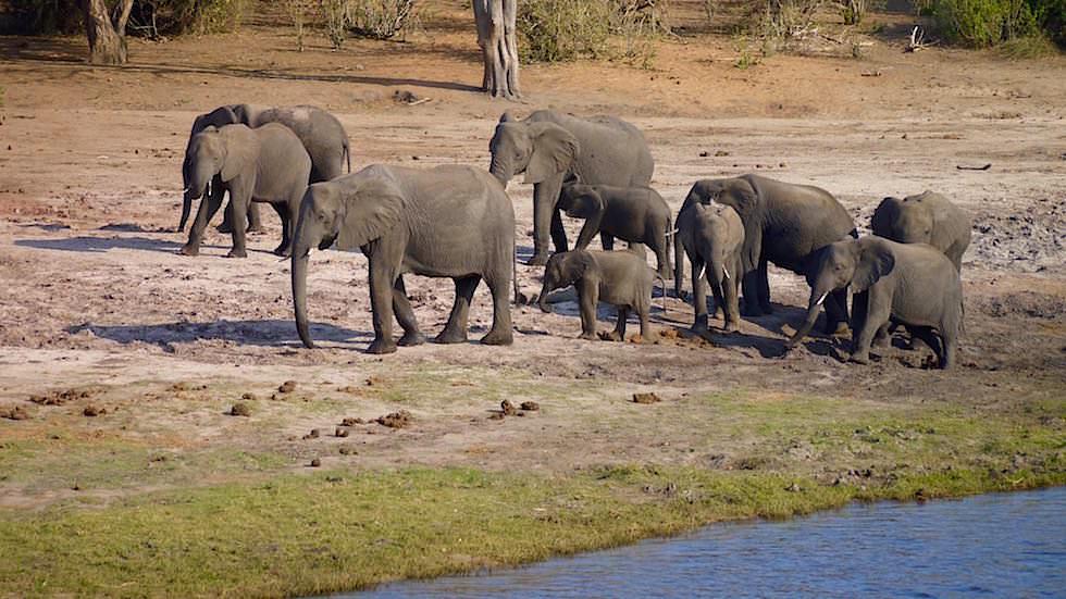 Elefanten im Chobe - Chobe River Cruise - Chobe National Park in Botswana