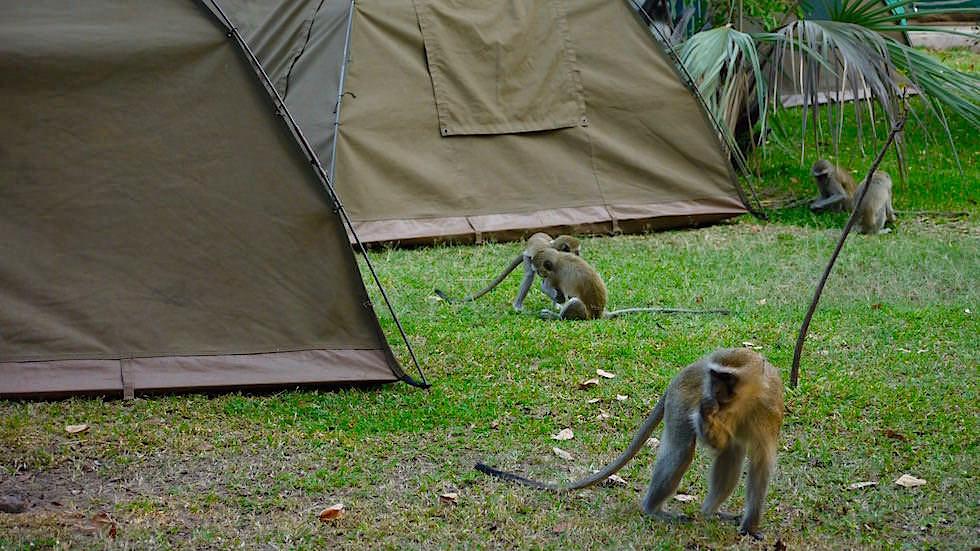 Affen im Waterfront Zambezi Camp Livingstone Victoria Falls Zambia, Afrika