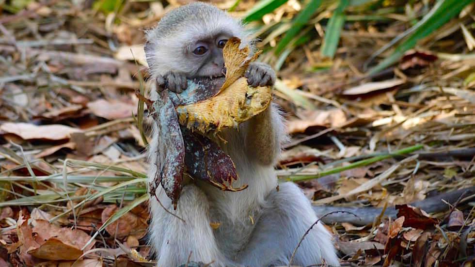 Hungrige Affen im Waterfront Zambezi Camp Livingstone Victoria Falls Zambia, Afrika