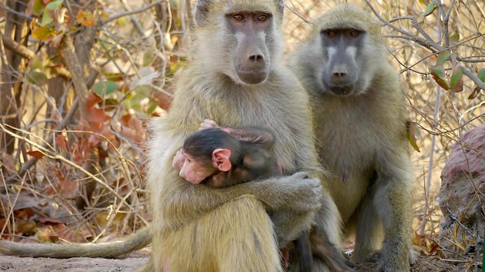 Affenfamilie auf der Straße Victoria Falls Sambia Afrika
