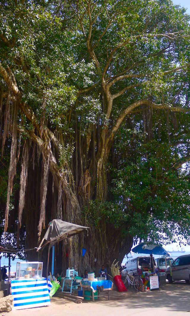 Gigantischer Feigen-Baum in Stone Town - Zanzibar - Afrika